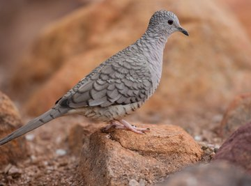 Characteristics Of Doves