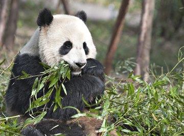 A giant panda eats bamboo leaves.