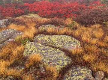 As first colonizers in succession, lichens can grow on bare rock surfaces, eventually breaking them down to soil where plants can grow.