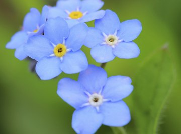 The forget-me-not, Alaska's state flower, is one of many blue-hued flowers found in the state.