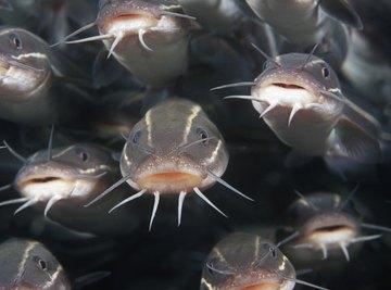 What Do Catfish Eat
