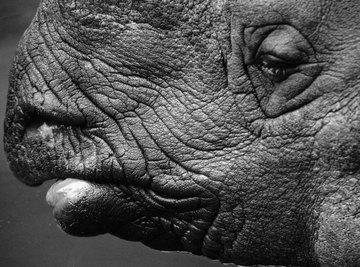 Rhinoceros skin looks tough, but it's actually quite sensitive.