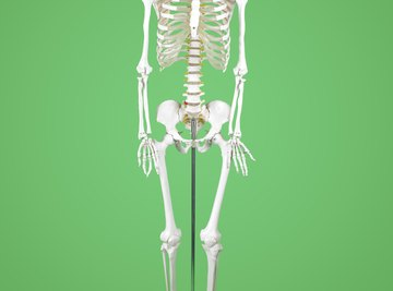 Using a model to study the structure and function of bones helps improve understanding.