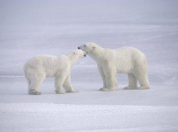 Polar bears play fighting in the snow.