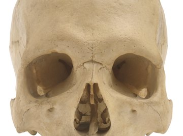 The skull is made up of many different bones joined at sutures.