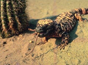 The venomous gila monster roams the Sonora Desert of North America.
