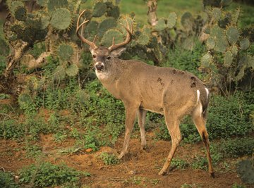 White-tailed deer are expanding their range in Texas.
