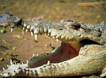American crocodiles prowl mangrove swamps in the New World tropics.