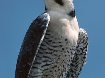 Falcons typically have black or brown bars on their abdomen.