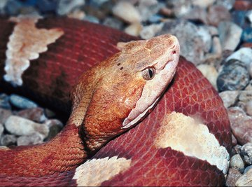 Copperheads are the most frequently seen venomous snakes in Mobile, Alabama.