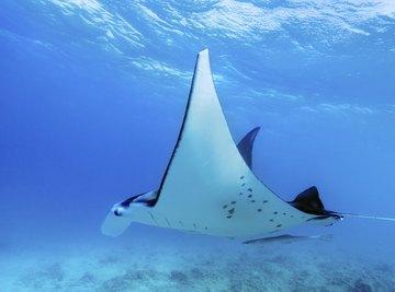 A manta ray swimming through a clear tropical ocean.