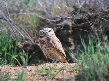 Both species of burrowing owls are active during the day.