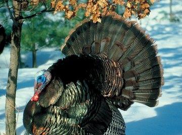 Hunted to extinction in 1881 in Wisconsin, wild turkeys are again plentiful.