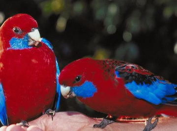 Rosella's eat a variety of fruits and seeds.