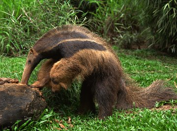 Giant anteaters are the largest anteater species.