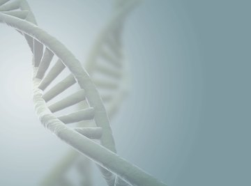 The twists of the DNA double helix allow it to fit within the nucleus.