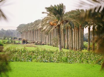 Silt deposited along the banks of the Nile RIver provides nutrients for growing crops.