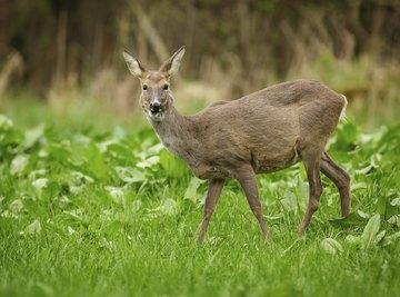 A roe deer grazing in a meadow.