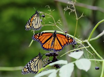 Three butterflies on the stems of a plant bearing dark berries.