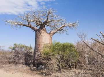 The baobab tree stores water in its thick trunk.