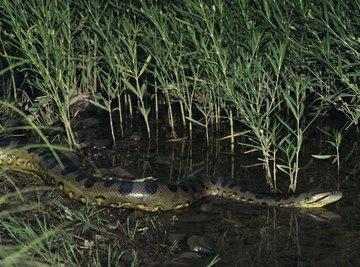 Green anacondas, the world's largest snake, inhabit Guyana's rainforests.