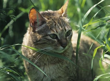 The sand cat actually survives without the presence of water, obtaining moisture through its prey.
