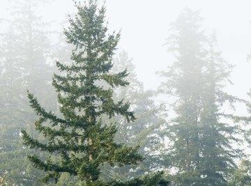 Conifers feature pollen cones, seed cones or both.