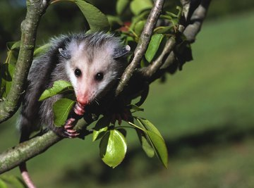 Opossums can be a nuisance for farmers and homeowners.