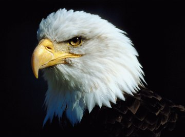 An American bald eagle is an example of a predator and a carnivore.