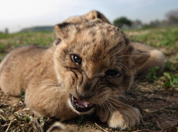 One-month old baby lion.