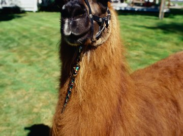 Researchers found an infertile female llama with a missing X chromosome.