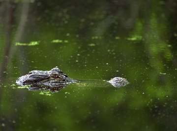 Alligators dominate Louisiana wetlands statewide.