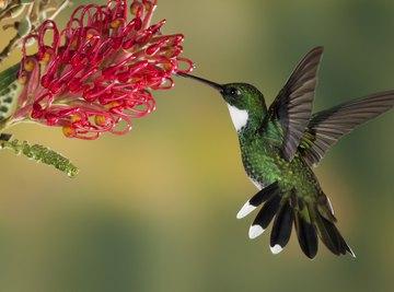 A white-throated hummingbird.