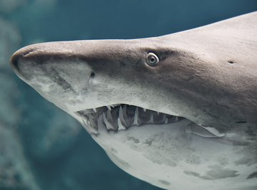 What Kinds of Sharks Are in Myrtle Beach, South Carolina