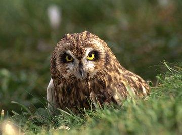 A short ear owl standing on the grass.