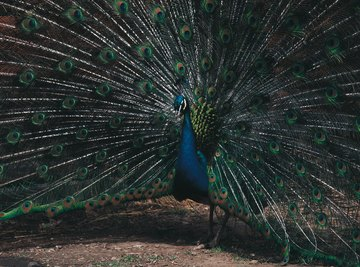 The peacock developed elaborate plumage that attracts females, but it inhibits the male's ability to flee predators.