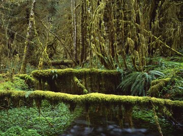 A lush green rain forest.