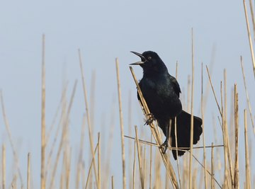 Both crows and grackles are noisy and highly gregarious birds.