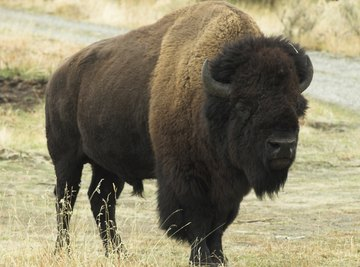 List of the Biggest Land Mammals in the United States