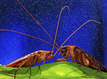 Cockroaches resemble various garden insects.