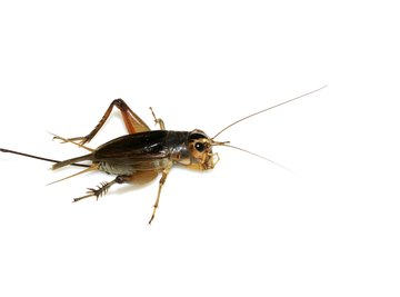 Field crickets' ovipositors enable them to insert eggs into moist soil.