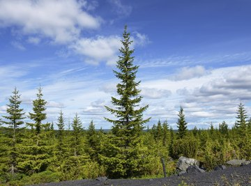 The taiga of northern Eurasia and North America is the world's vastest forest.