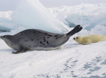 A harp seal and her pup on the ice.