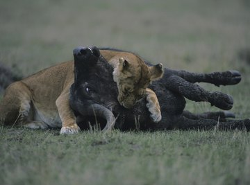 Carnivores are one part of a food chain.