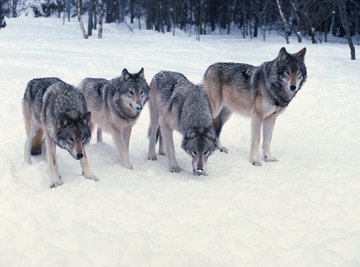 Hunting in a pack is a key part of survival.