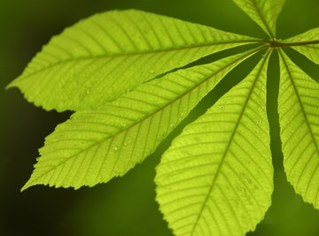 The leaf is the site of photosynthesis in a plant.