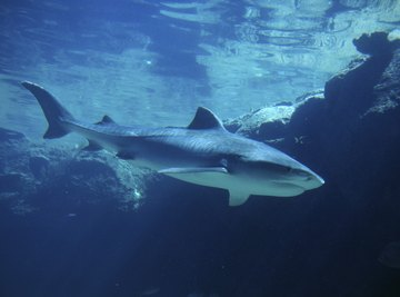 Top predators, like sharks, are at the top of the food chain.