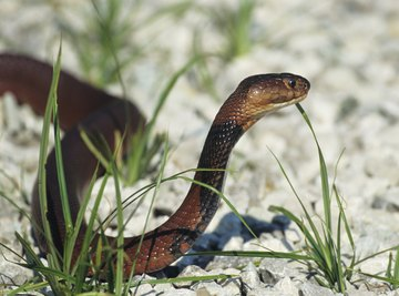 Spitting cobras give birth to live young.
