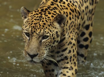 Jaguars are good swimmers and are active in the daytime.
