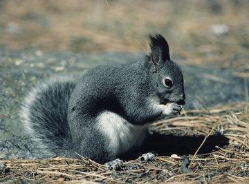 Signs & Symptoms of Rabies in Squirrels